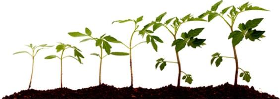 pianta pomodoro