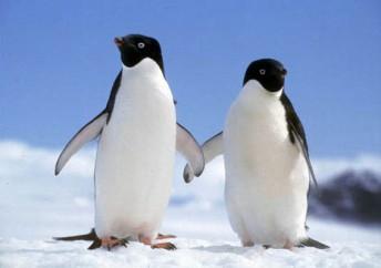 coppia pinguini