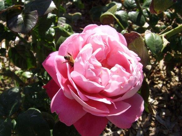 rosa con ape